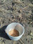 Becher mit Reis für die Aussaat